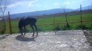 اسب تندر بسیار خوش سواری وپرخون از نژادافشاری پاكل