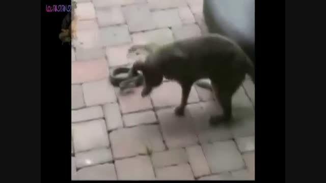 نبرد درگیری حمله جنگ مار و گربه کلیپ فیلم گلچین صفاسا