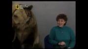 حمله خرس به زن در برنامه تلویزیونی