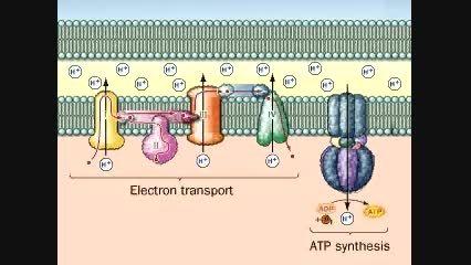 زنجیره انتقال الکترون 5