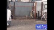 رقص جالب یک سگ با آهنگ مدرن تاکینگ !