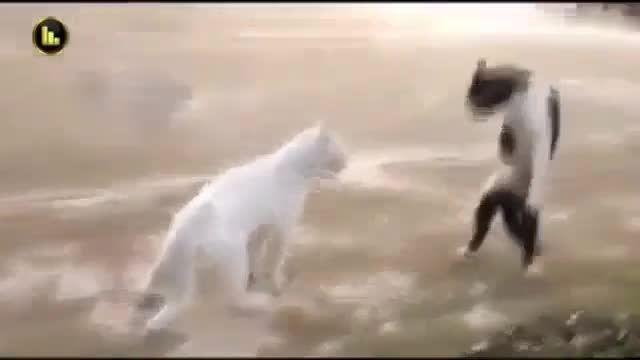 گربه ی کاراته کار !!!!!!!!!!