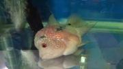 بیماری اسیب کیسه هوای ماهی 1