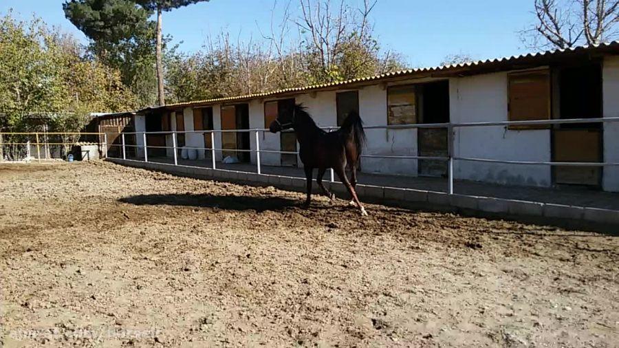 خرید اسب سیلمی خالص ایرانی قرقی