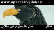 کلیپ جدال عقاب های دریایی و طلایی