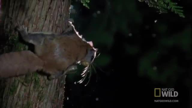 عجایبی از سنجاب پرنده