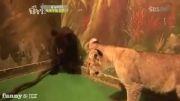 ترسیدن بچه خرس از بچه شیر