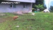 گربه باهوش و فریب دادن سگ (خیلی جالب )