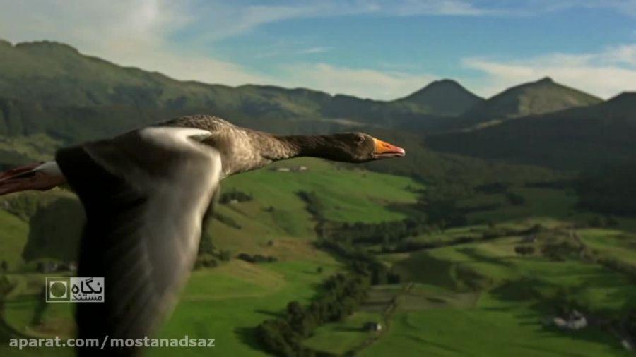پرواز شگفت انگیز و بسیار زیبای غازها