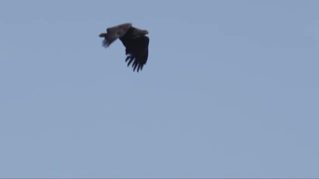 ماهیگیری فوق العاده دیدنی عقاب قدرتمند