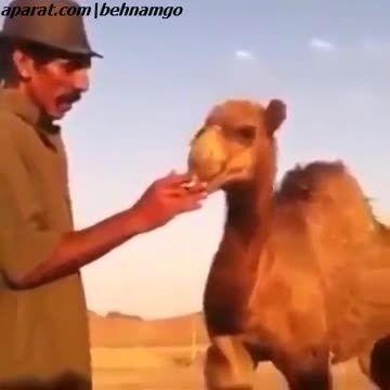 سیگار کشیدن شتر