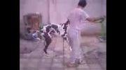 سگ خیلی بزرگ