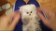 بچه گربه ایرونی عاشقه قلقلکه!(خیلی خنده دار)