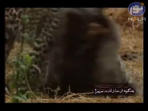 مهربانی عجیب حیوانات وحشی در هنگام شکار - عجیب ولی واقع