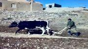 شخم زدن زمین زراعی توسط کشاوز طبسی (پیرحاجات)
