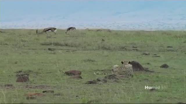 """شکار حرفه ای آهو توسط """"یوزپلنگ""""  چالاک"""