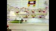 بی قراری طوطی در قفس