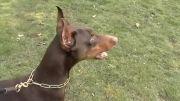 سگ تازی و دوبرمن