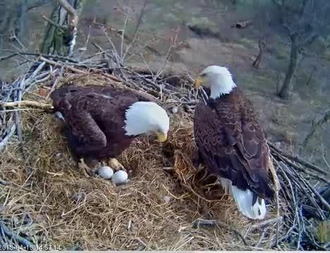 نگاه نزدیک : نگهداری عقاب از تخم هایش