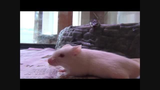 حمله مار به موش
