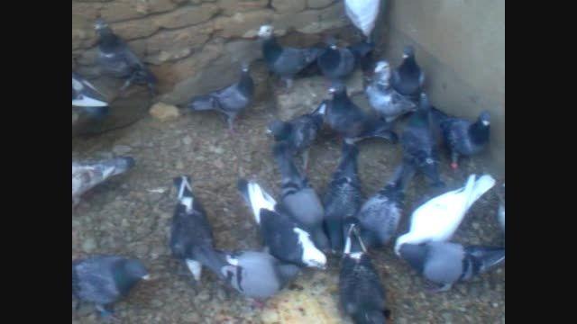 کبوتر خرم آباد پلاکی