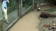 خوردن مرغ زنده توسط اژدهای کومودو