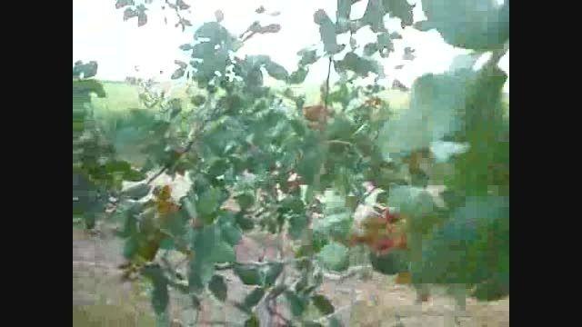 باغ های پسته روستای نریمانی.باغ 1