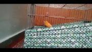 قناری مست پرتقالی 1