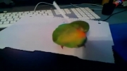 طوطی با کاغذ واسه خودش پر درست میکنه.. واقعا عجیب