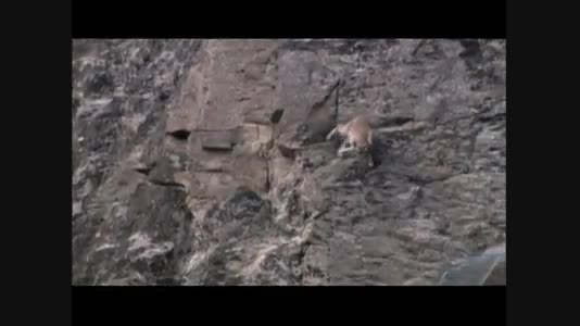 شکار بز کوهی توسط پلنگ برفی