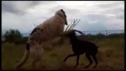 مبارزه سگ ولف هاند با سگ دوبرمن