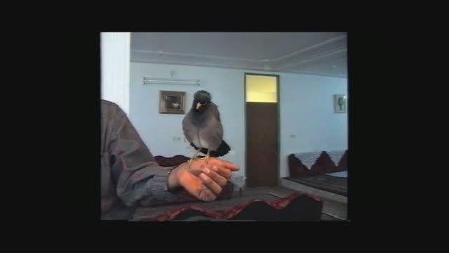 مرغ عشق سخنگو سید ماشالله در سیرجان