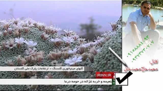 گل های مینیاتوری گلسنگ - ارتفاعات پارک ملی گلستان