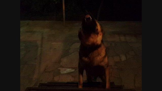 *مژده*فروش جانی یک سگ نگهبان استثنایی09379375200
