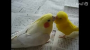 دوستی مرغ عشق سخنگو و عروس ناز