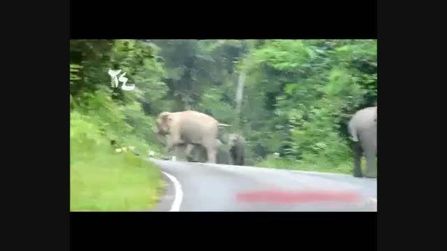 حمله فیل ها و التماس موتور سوار بیچاره