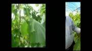 مینرال کود - نتیجه استفاده از کود مینرال در گلخانه خیار