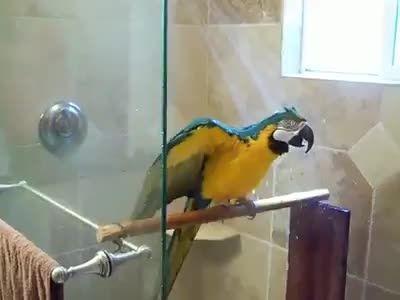 حمام کردن طوطی آبی طلایی یا آرا