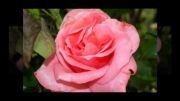 ღ روز عشق مبارک باد ღ  | رحیم شهریاری |
