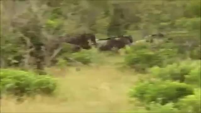 DOUBLE KILL for the leopard