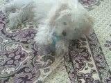 بازی کردن بوبی با شیشه شیر