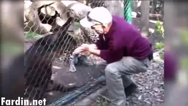 حمله پلنگ سیاه به مسئول باغ وحش