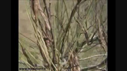بهره برداری از درخت گز روغنی در استان سیستان و بلوچستان