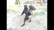 سگ دوبرمن و روتوایلر