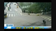 حمله بوفالوی خشمگین به عابران پیاده