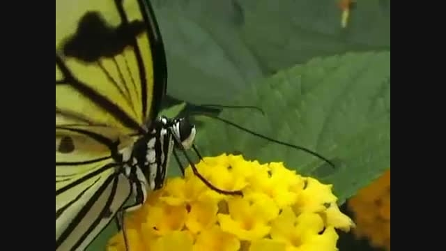 آب نوشیدن پروانه
