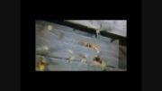 فیلم/ جنگ میان زنبورهای غول پیکر و زنبورهای عسل