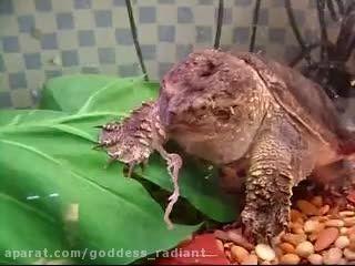 زنده خوردن موش توسط لاکپشت