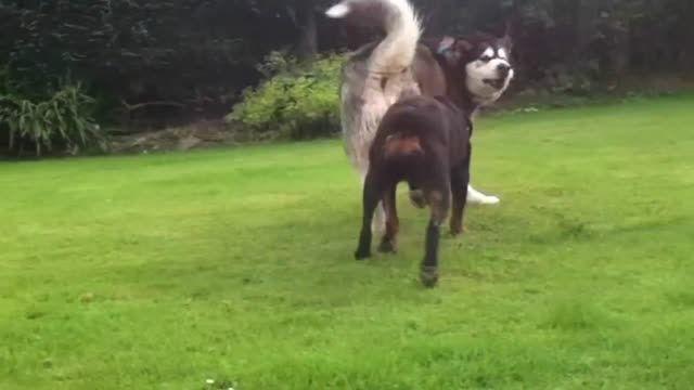 سگ روتوایلر و مالاموت آلاسکایی