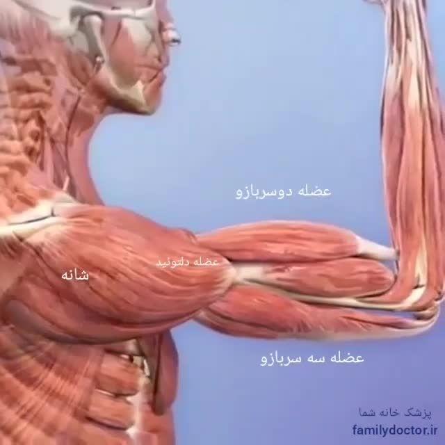 عضله دو سر بازو